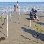 Lembaga Konservasi Pengembangan dan Riset (LKPR) Lakukan penanaman pohon mangrove di bibir pantai ujung Suso desa mabonta kecamatan Burau, Minggu (25/7/21).